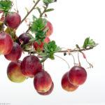 クランベリーはベランダで育てられる植物。常緑で実も紅葉も楽しめます。