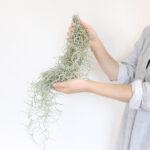 飾るように育てられるチランジア・ウスネオイデス(スパニッシュモス)