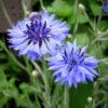 秋に種まき。春に美しい青色を咲かせる矢車菊(コーンフラワー)