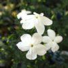 ジャスミン・ホワイトプリンセスをベランダで育てるための剪定と置き方
