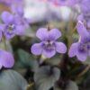 黒葉のビオラ「ラブラドリカ」はシックな寄せ植えにおすすめ
